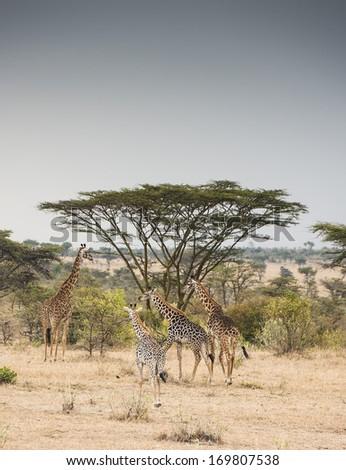 A herd of giraffes around an acacia tree. Masai Mara, Kenya  - stock photo