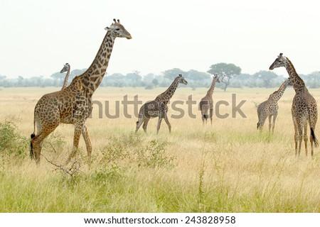 A herd of giraffes (Giraffa camelopardalis) in a plain in Serengeti National Park, Tanzania - stock photo