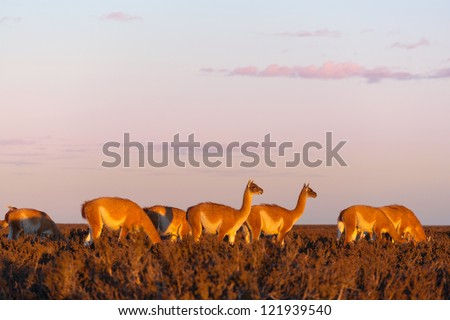 A herd of guanacos in the Pampas at the sunset, Patagonia, Argentina