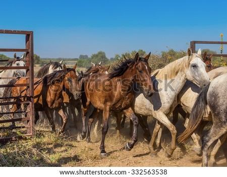 A herd of horses runs out of the corral. The movement of the open gate. - stock photo