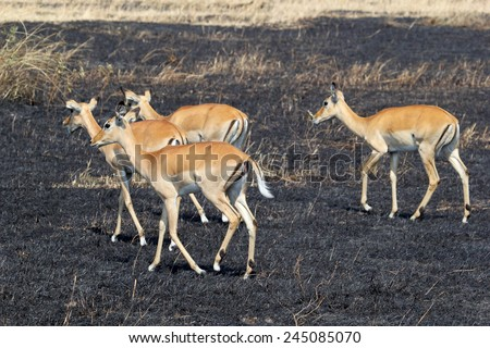 A herd of impala, Aepyceros melampus, walking on a tract of land burned in Serengeti National Park, Tanzania - stock photo