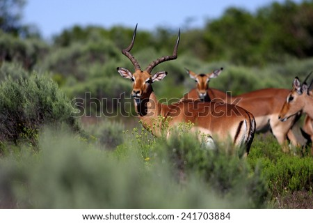 A herd of Impala in the long green grass/shrubs. - stock photo