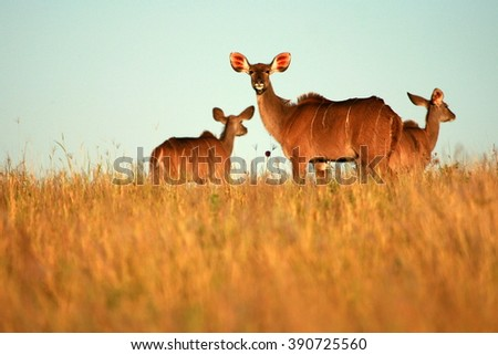 A herd of kudu cow ( antelope ) in sepia tone from South Africa - stock photo