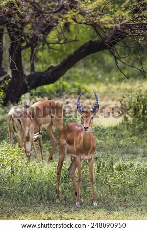 A herd of male impala, Aepyceros melampus, standing in the vegetation in Serengeti National Park, Tanzania - stock photo