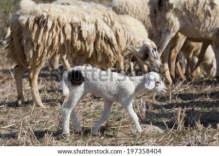 A herd of sheep on a savanna in Phan Rang, Ninh Thuan, Viet Nam. A baby sheep looking for its mother.