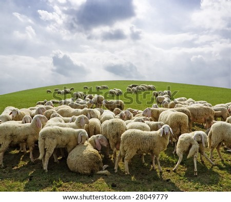 A herd of sheep on sunny spring day. - stock photo