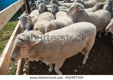 A herd of sheep on the farm, sunny autumn day