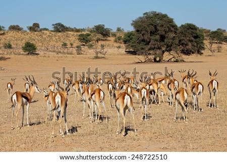 A herd of springbok antelopes (Antidorcas marsupialis), Kalahari desert, South Africa  - stock photo