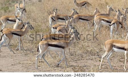 A herd of Thomson's gazelle (Eudorcas thomsonii) walking in Serengeti National Park, Tanzania - stock photo