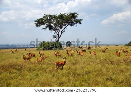 A herd of Ugandan kobs in Queen Elizabeth National Park, Uganda