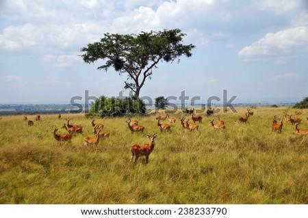 A herd of Ugandan kobs in Queen Elizabeth National Park, Uganda - stock photo