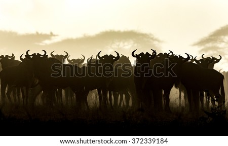 A herd of White Bearded Wildebeest in the early morning, Serengeti - stock photo