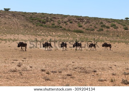 A herd of wildebeest from Kgalagadi transfrontier park, South Africa - stock photo