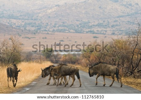 A herd of wilderbeast crossing the road in Pilanesberg National Park, South Africa. - stock photo