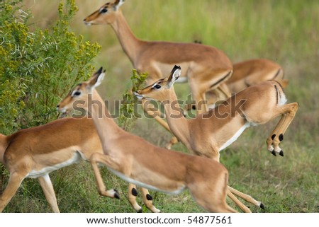 A herd of young impala females running in the pilanesberg national park - stock photo