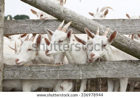a herd of young white goat standing on a pasture and looking through the fence