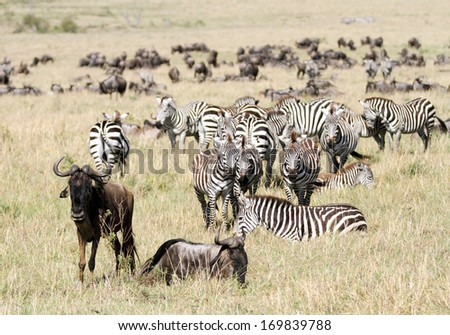 A herd of Zebra and wildebeests  - stock photo