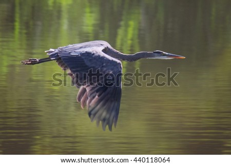 a heron in a local wildlife sanctuary park hunting for fish  - stock photo