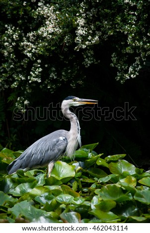 A heron sitting amongst some lilly leaves in a pond.