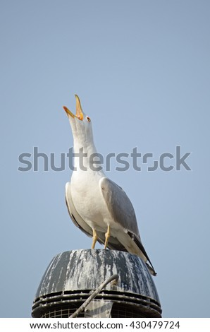 A herring gull, latin name Larus argentatusl, opening it's beak and squarking into the air on top of a chimney.   - stock photo
