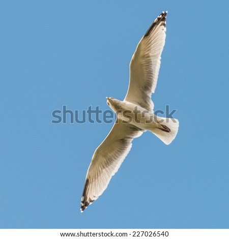 A herring gull soars through a blue sky. - stock photo