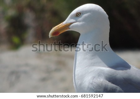 A herring gull watching for its next meal in east Looe in Cornwall