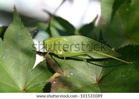 A hidden leaf insect camouflaged by leaves