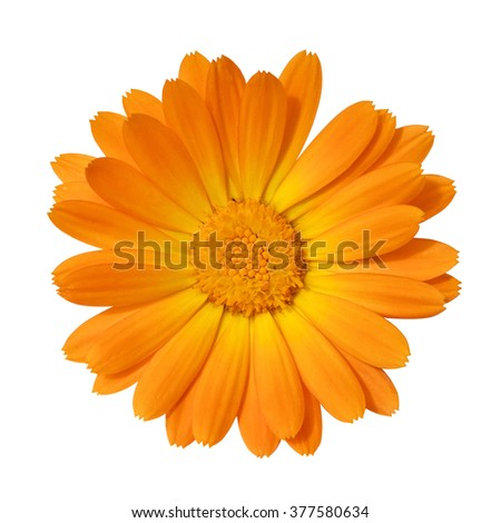 A high detail close-up shot of bright orange calendula,way in paths - stock photo