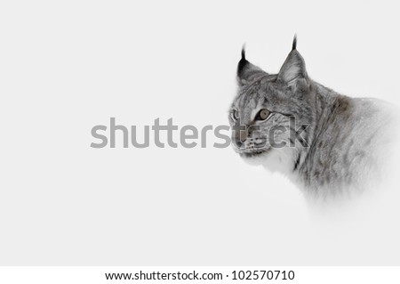 A high key image of a Lynx in Central Norway. - stock photo