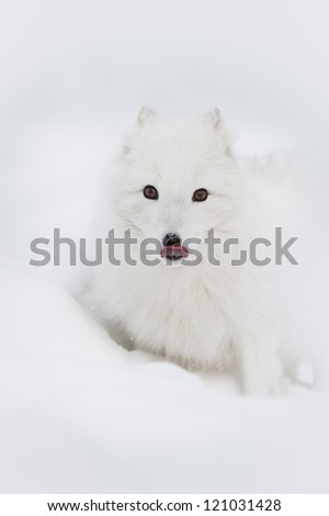 A high-key image of an Arctic Fox licking its nose to remove snow flakes after it has been foraging under the snow for a morsel of food. - stock photo