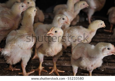 A High resolution of Chic in a poultry farm.
