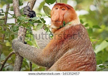 A highly Endangered Proboscis Monkey (Nasalis larvatus) sitting in a tree & looking very pensive in the wild jungles of Borneo. This is a big fat mature male with a huge nose & comical expression.
