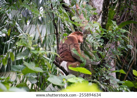 A highly Endangered Proboscis Monkey (Nasalis larvatus) sitting in a tree & looking very pensive in the wild jungles of Borneo. This is a big fat mature male with a huge nose & comical expression. - stock photo