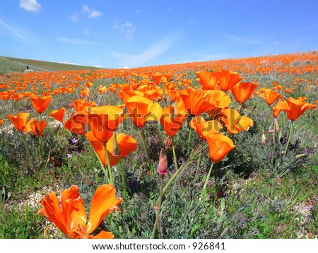 A hiker in a field of poppies under blue sky with white clouds, Antelope Valley, California.