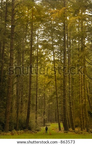 A hiker is dwarfed by giant trees - stock photo