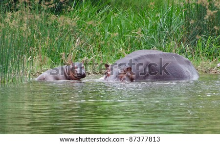 a Hippo cow and calf in Uganda (Africa) - stock photo
