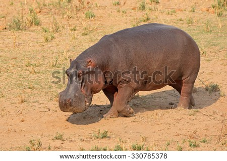 A hippo (Hippopotamus amphibius) on land, Kruger National Park, South Africa  - stock photo