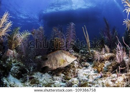 a Hogfish surrounded by colorful coral reef in the atlantic ocean with a boats outline on the surface in the background. Blue water and light rays as well in Key Largo, florida - stock photo