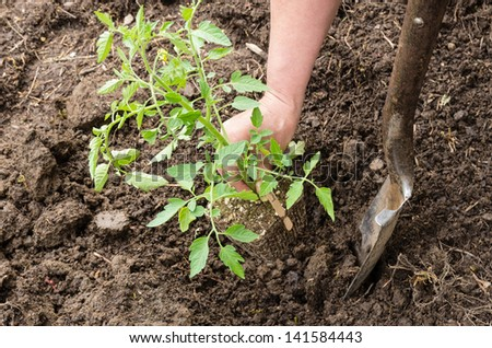 A home vegetable garden being prepared for planting tomatoes