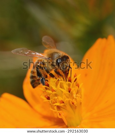 A Honey Bee (Apis mellifera) Pollinating A Cosmos Flower (Cosmos sulphureus). - stock photo