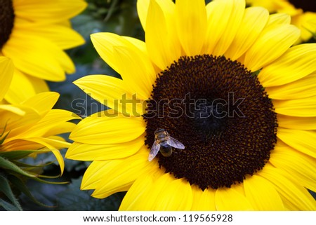 A honey bee collects pollen in a giant summer sunflower. - stock photo