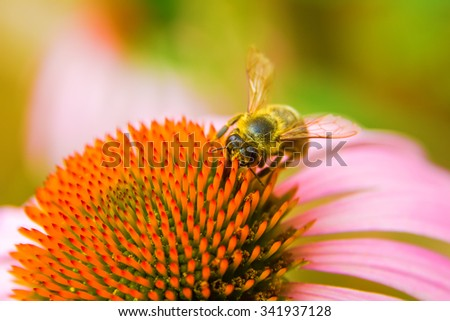 A honey bee collects pollen on a echinacea flower. - stock photo