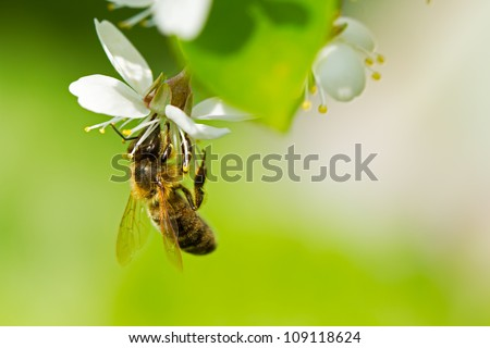 A honey bee on a cherry - stock photo