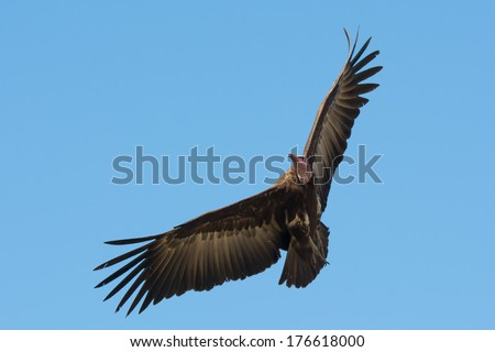 A Hooded Vulture (Necrosyrtes manachus) in flight mid turn - stock photo
