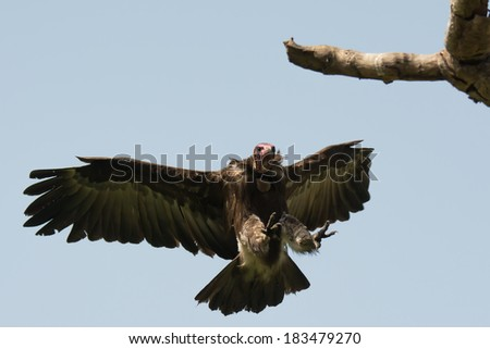 A Hooded Vulture (Necrosyrtes manachus) landing on a branch  directly above me - stock photo