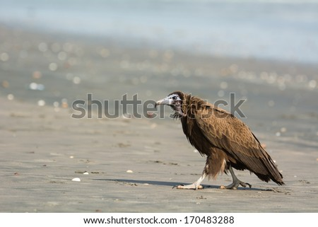 A Hooded Vulture (Necrosyrtes manachus)  stalking menacingly up the beach - stock photo