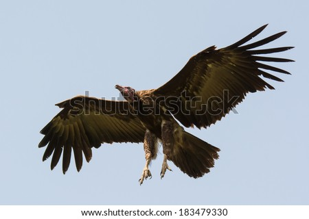 A Hooded Vulture (Necrosyrtes manachus) with legs out ready for landing - stock photo
