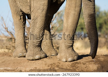 A horizontal, close up, colour photo of an elephant's legs, feet, toes and trunk at a waterhole in the Tuli block, Botswana. - stock photo