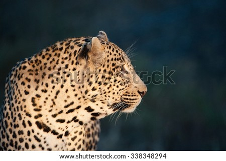 A horizontal, close up, colour photograph of the side profile of a large male leopard, glowing against a dark, blue-green background at Elephant Plains, Sabi Sands Game Reserve, South Africa. - stock photo