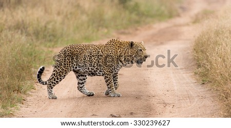 A horizontal, colour image of a large, old male leopard with ragged ears, 'coughing' while on patrol crossing a dirt road in the Sabi Sand Private Game Reserve, Mpumalanga province, South Africa.